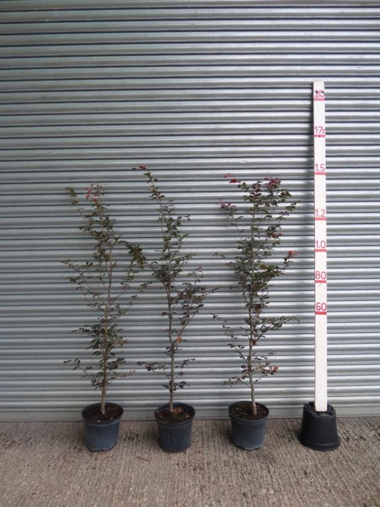 Copper Beech hedging