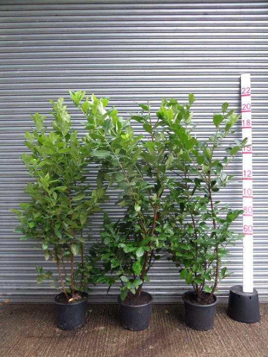 large laurel hedging