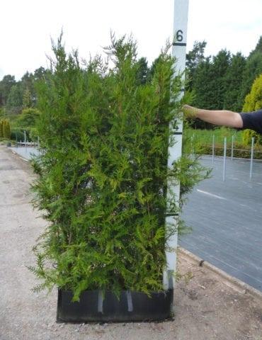 instant thuja hedge