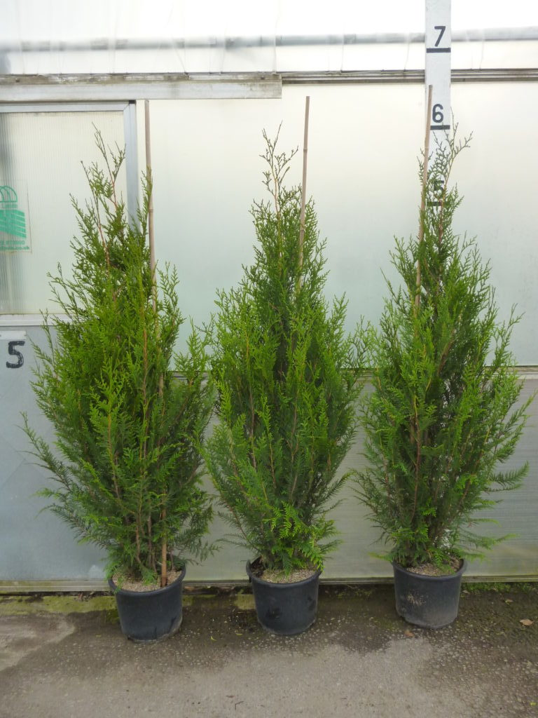 thuja hedge plants for sale online direct from our nursery buy