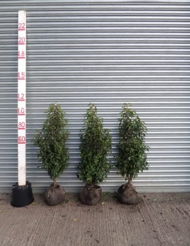 small Portuguese laurel