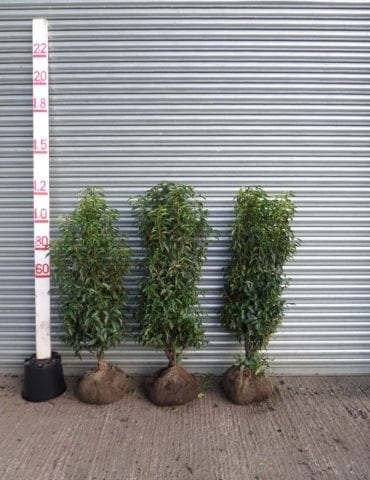 Portuguese Laurel hedge plants
