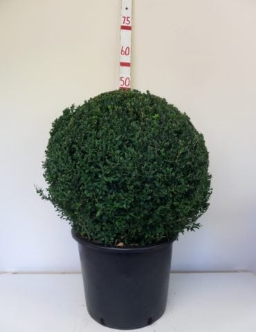 Topiary Box Ball 50cm