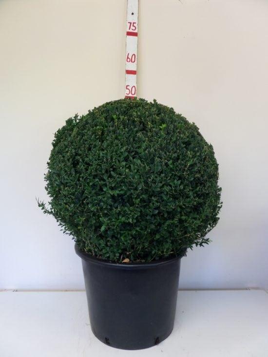 Topiary Box Ball 50cm
