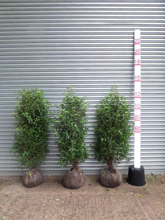 Portuguese Laurel hedge plants