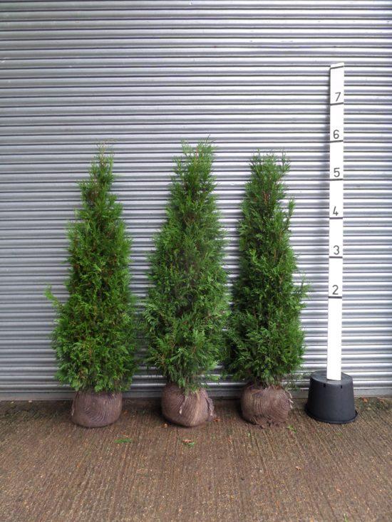thuja hedge plants