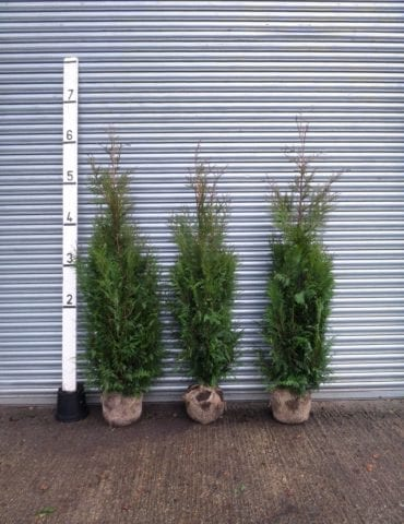 thuja hedge plants