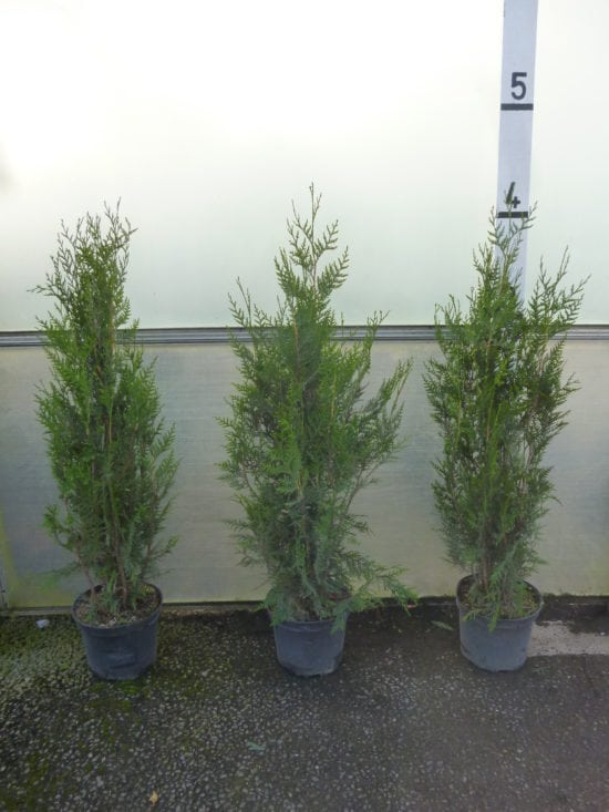4ft thuja hedge