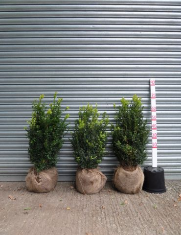 Root balled box hedging