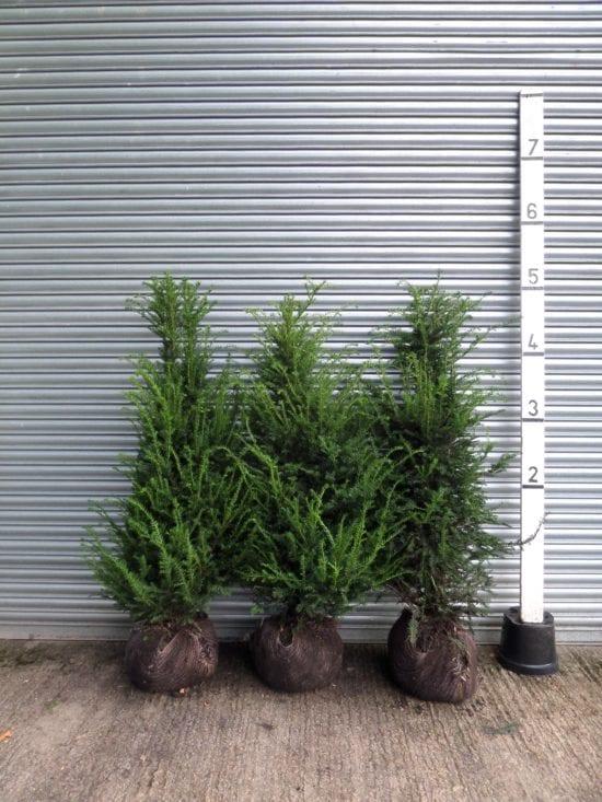bushy Yew