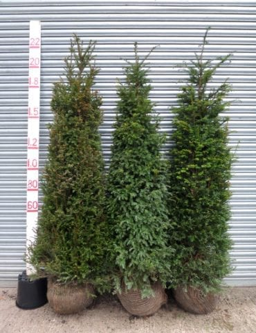 tall yew hedging