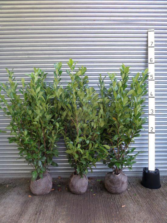laurel root balls