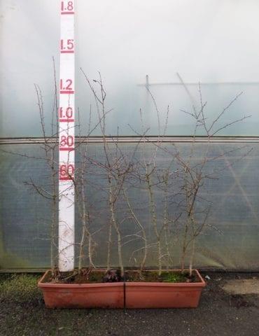 Instant Hawthorn hedging