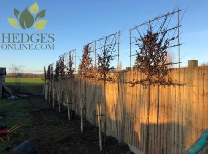 Pleached Trees to New Development Site