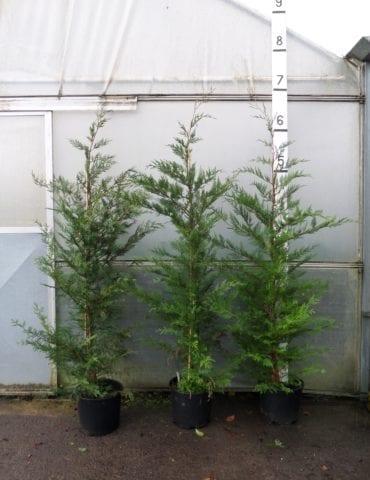 6ft Leylandii Hedge