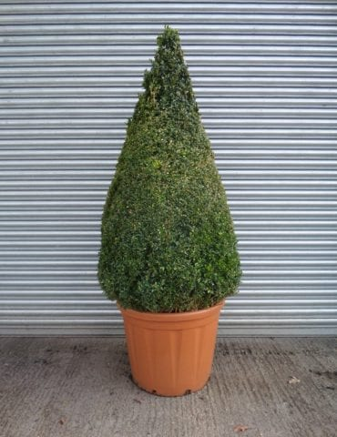 Large Topiary Box Cone