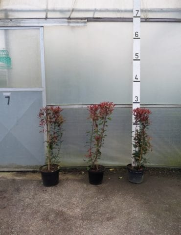 Photinia hedging