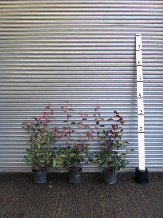 Photinia hedging