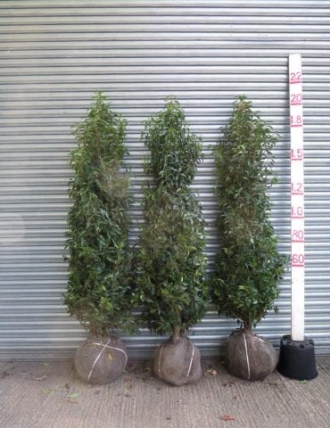 Portuguese Laurel trees