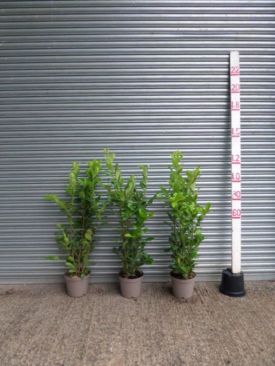 laurel hedging cherry laurel