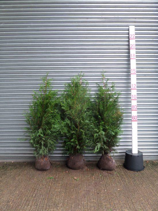 thuya hedge plants