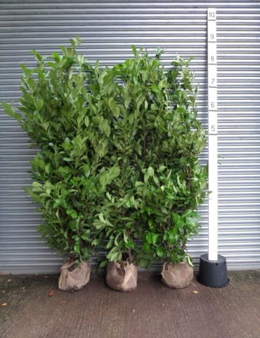 tall laurel hedge